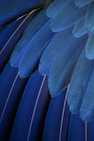 blue parrot feathers